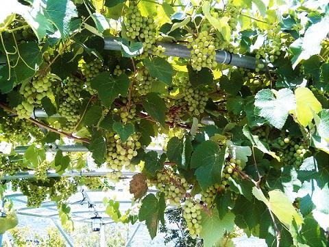 סוכת גפנים - גם צל גם ענבים