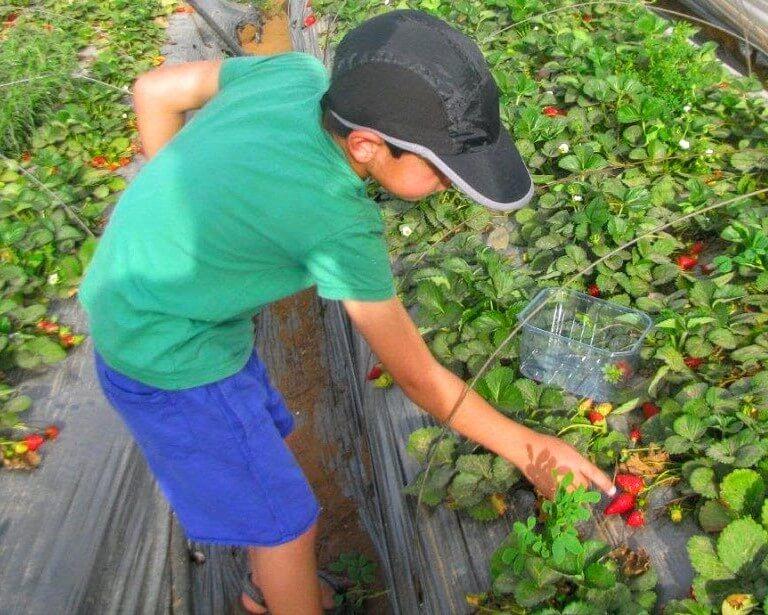 ערוגות מוגבהות של תות-גינה על גבי יריעה גיאוטכנית