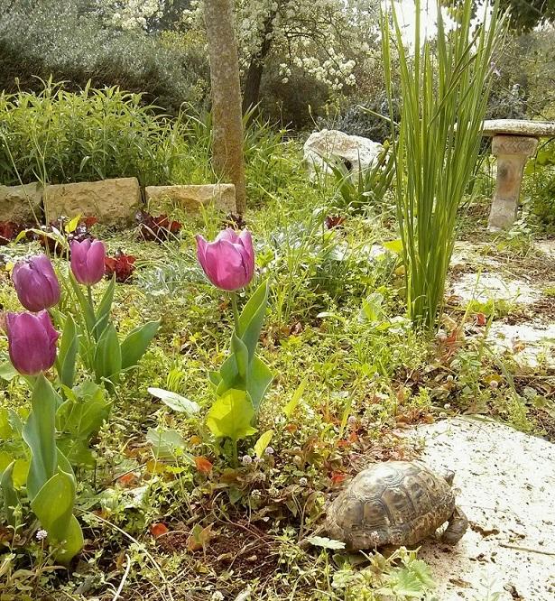 צב בגינה